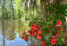 Azaleas flowers blooming by the lake Royalty Free Stock Image