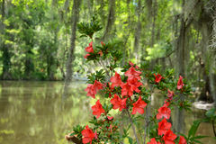 Azaleas flowers blooming by the lake Royalty Free Stock Photo
