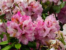 Azaleas, flowers blooming in spring stock photography