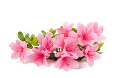 Azaleas flowers  isolated. On white background Royalty Free Stock Photos