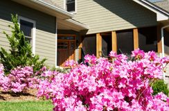 Azaleas At Front Door of House. Azaleas blooming at the front entrance of a house Royalty Free Stock Photos