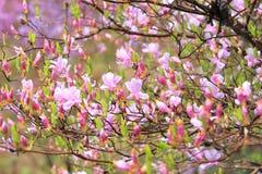 Azaleas in full bloom Stock Photography