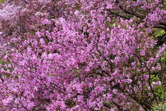 Azaleas in full bloom Royalty Free Stock Photos