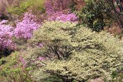 Azaleas in full bloom Stock Photo