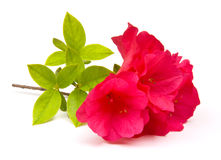 Azaleas Isolated Stock Photos