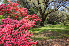 Azaleas and Live Oak Trees Stock Photo