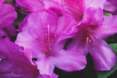 Azaleas púrpuras en flor en primavera Imágenes de archivo libres de regalías
