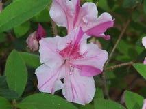 Azaleas. Pink azalea bush in pinehurst north carolina royalty free stock photo