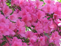 Azaleas. Pink azalea bush in pinehurst north carolina stock photo