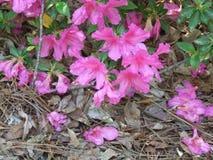 Azaleas. Pink azalea bush in pinehurst north carolina stock photography
