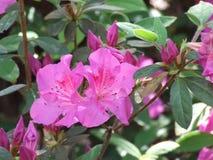 Azaleas. Pink azalea bush in pinehurst north carolina royalty free stock image