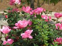 Azaleas. Pink azalea bush in pinehurst north carolina royalty free stock photos