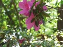 Azaleas. Pink azalea bush in pinehurst north carolina royalty free stock images