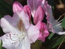 Azaleas. Pink azalea bush in pinehurst north carolina stock image