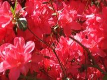 Azaleas. Pink azalea bush in pinehurst north carolina royalty free stock photography
