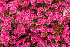 Azaleas in Portland`s Crystal Springs Rhododendron Garden Stock Image