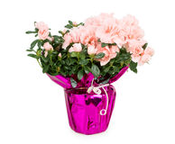 Azaleas, pot Stock Photo