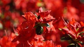 Azaleas rojas salvajes Fotografía de archivo