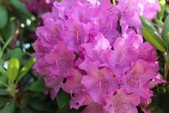 Azaleas rosadas vibrantes Foto de archivo libre de regalías