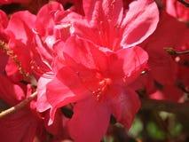 Azaleas Royalty Free Stock Photo