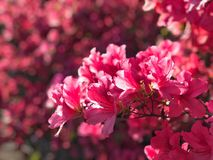Azaleas in spring Stock Images