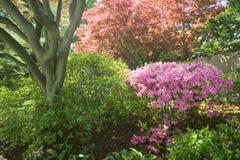 Azaleas in spring in National Arboretum, Washington D.C. Royalty Free Stock Photo