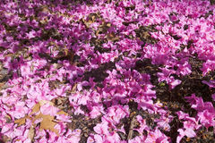 Azaleas in spring in National Arboretum, Washington D.C. Stock Image