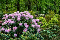 Azaleas in the spring park. Royalty Free Stock Photography