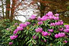 Azaleas in the spring park. Royalty Free Stock Photo