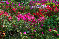 Azaleas. Stock Photography