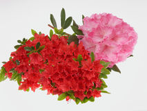 Azaleas. Two species of azaleas on white background Stock Images