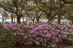 Azaleas White Point Garden Charleston SC royalty free stock photography