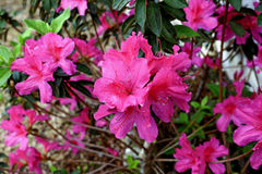 Azaleastruik in bloei Royalty-vrije Stock Foto's