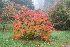 Azaleastruik met de herfstkleuren Royalty-vrije Stock Foto's