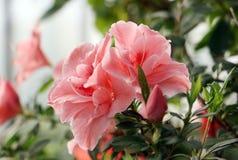 Azaleaträd Royaltyfri Bild