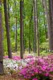 azaleaträdgård Arkivfoto