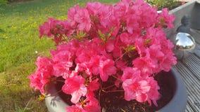 Azalee花桃红色庭院 免版税库存照片