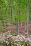 Azalee arbeitet in voller Blüte im Garten Lizenzfreies Stockbild