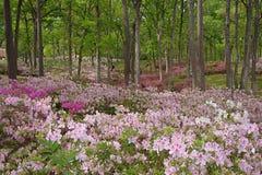 Azalee arbeitet in voller Blüte im Garten Lizenzfreie Stockbilder