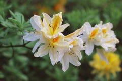 Azalee blüht mit Wassertröpfchen auf den Blumenblättern in der Sonne Rodendron-Garten-Regen Feld Niederlassung der gelben Azalee  Stockfotografie