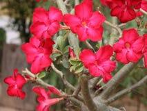 Azalee blüht schönes Rot Lizenzfreie Stockbilder