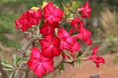 Azalee blüht schönes Rot Stockfoto