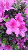 Azalee in fioritura Immagini Stock Libere da Diritti