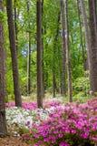Azalee-Garten Stockfoto