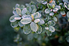 Azalee im Frost Stockfotografie