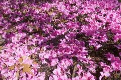Azalee in primavera in arboreto nazionale, Washington D C Immagine Stock