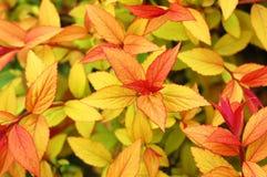 Azalee treibt im Frühjahr - Hintergrund Blätter Stockbilder