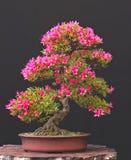 Azaleebonsais in der Blüte stockfoto