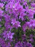 Azaleen in der Blüte stockbild