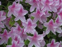 Azaleen in der Blüte lizenzfreies stockfoto